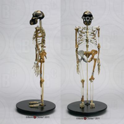 Bone Clones博物馆级 阿法南猿头骨露西全身骨骼仿真预定
