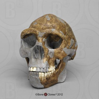 Bone Clones 博物馆 周口店北京猿人头骨 仿真 美国制