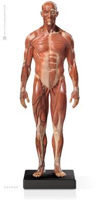 美国医艺解剖Anatomy Tools男性肌肉模型 1:6: v.3